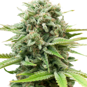 AK 47 Auto-Flowering Cannabis Seeds