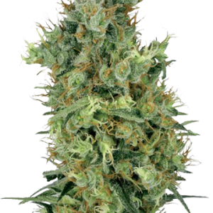 Sour Diesel Auto-flowering Cannabis Seeds