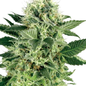 Northern Lights Regular Cannabis Seeds for Sale