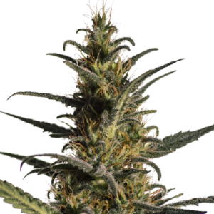 Candida (CD – 1) Feminised Seeds