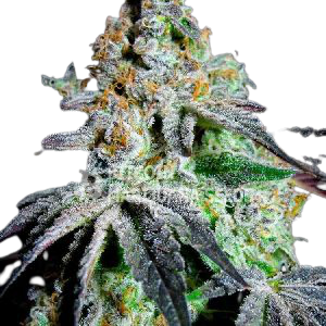 Painkiller Medical Cannabis Seeds
